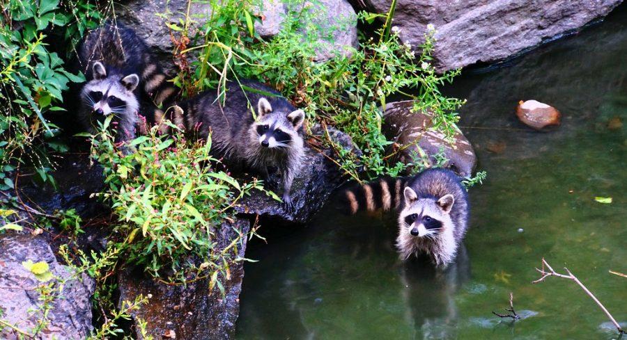 Raccoon Vaccines